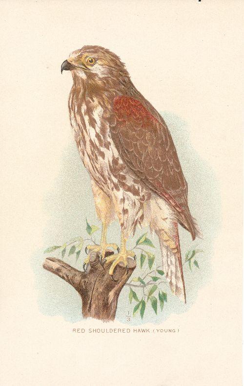 Aquila-